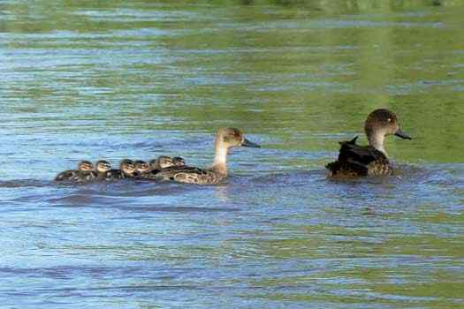 family of ducks on water