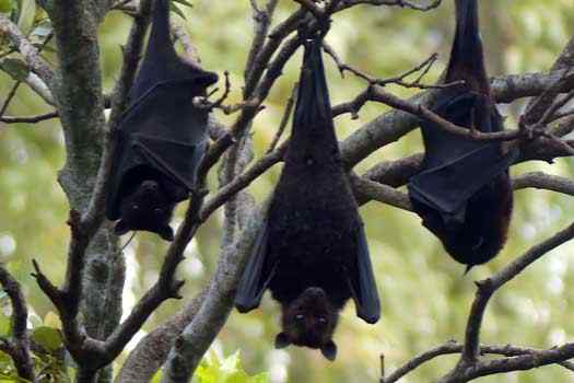 Bats hanging in the tree